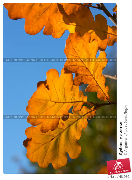 Дубовые листья, фото № 48969, снято 25 октября 2005 г. (c) Argument / Фотобанк Лори
