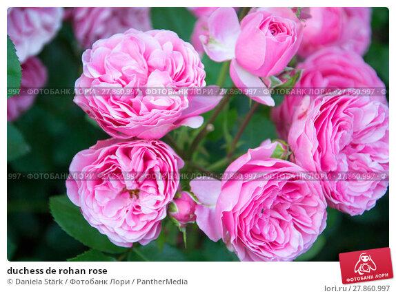 Купить «duchess de rohan rose», фото № 27860997, снято 19 февраля 2019 г. (c) PantherMedia / Фотобанк Лори
