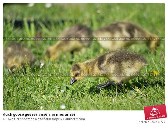Geeser