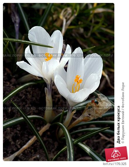Два белых крокуса, фото № 170325, снято 23 марта 2017 г. (c) Парушин Евгений / Фотобанк Лори
