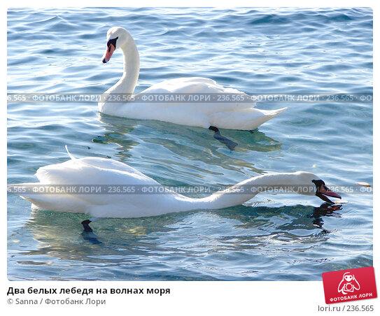 Два белых лебедя на волнах моря, фото № 236565, снято 18 января 2008 г. (c) Sanna / Фотобанк Лори