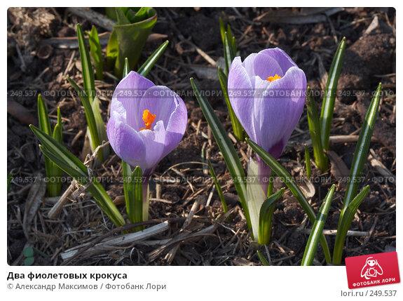 Два фиолетовых крокуса, фото № 249537, снято 29 апреля 2006 г. (c) Александр Максимов / Фотобанк Лори