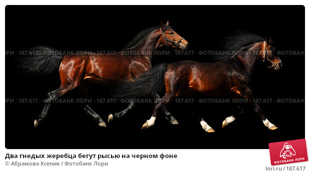 Два гнедых жеребца бегут рысью на черном фоне, фото № 187617, снято 28 апреля 2007 г. (c) Абрамова Ксения / Фотобанк Лори