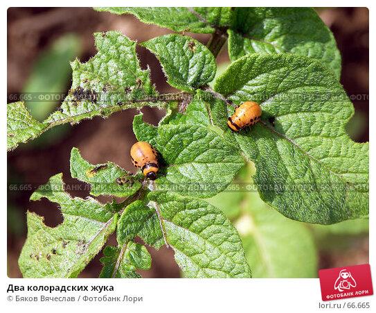 Два колорадских жука, фото № 66665, снято 26 июля 2007 г. (c) Бяков Вячеслав / Фотобанк Лори