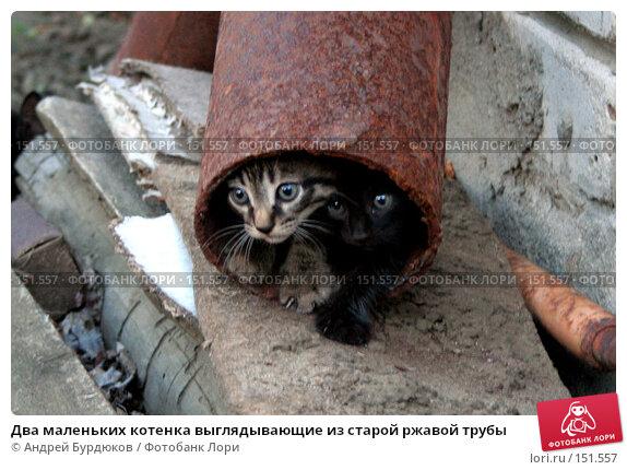 Два маленьких котенка выглядывающие из старой ржавой трубы, фото № 151557, снято 24 июня 2006 г. (c) Андрей Бурдюков / Фотобанк Лори