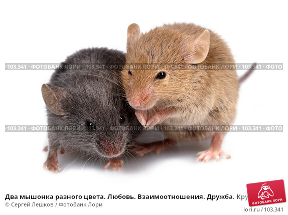 Два мышонка разного цвета. Любовь. Взаимоотношения. Дружба. Крупный план., фото № 103341, снято 21 июля 2017 г. (c) Сергей Лешков / Фотобанк Лори