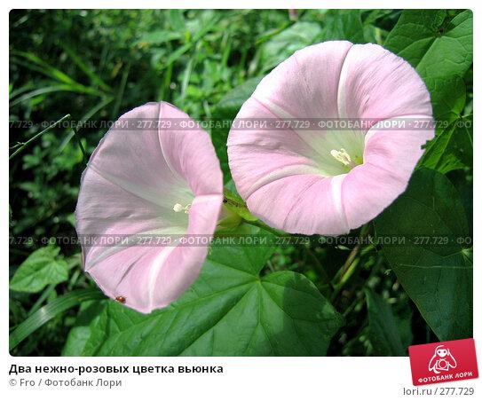 Два нежно-розовых цветка вьюнка, фото № 277729, снято 3 июля 2005 г. (c) Fro / Фотобанк Лори
