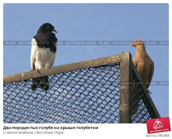 Два породистых голубя на крыше голубятни, фото № 95869, снято 2 октября 2007 г. (c) Антон Алябьев / Фотобанк Лори