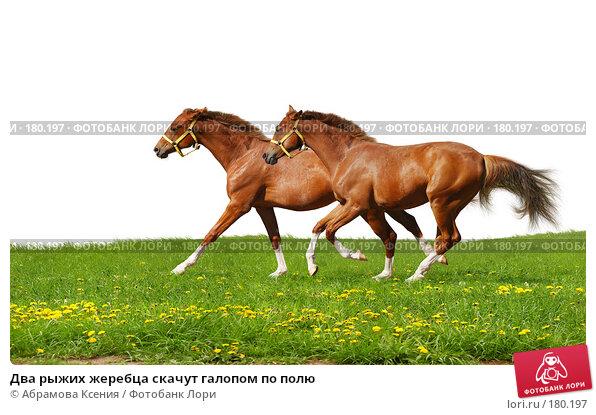 Два рыжих жеребца скачут галопом по полю, фото № 180197, снято 4 августа 2007 г. (c) Абрамова Ксения / Фотобанк Лори