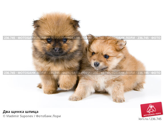 Два щенка шпица, фото № 236745, снято 16 марта 2008 г. (c) Vladimir Suponev / Фотобанк Лори