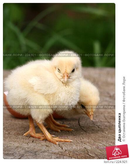 Два цыпленка, фото № 224921, снято 26 мая 2007 г. (c) Останина Екатерина / Фотобанк Лори