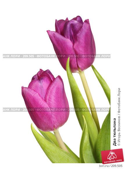 Два тюльпана, фото № 209505, снято 25 февраля 2008 г. (c) Игорь Веснинов / Фотобанк Лори