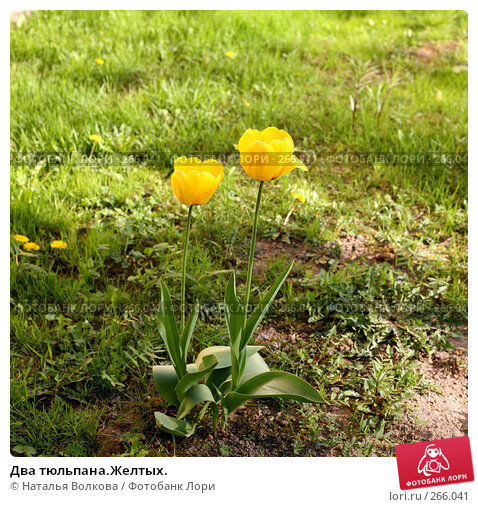 Два тюльпана.Желтых., фото № 266041, снято 29 апреля 2008 г. (c) Наталья Волкова / Фотобанк Лори