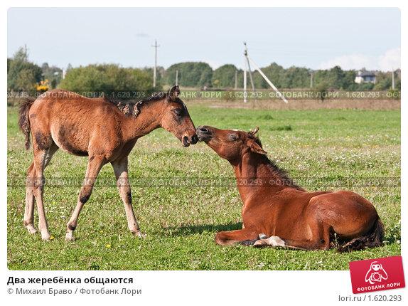 Купить «Два жеребёнка общаются», фото № 1620293, снято 12 сентября 2009 г. (c) Михаил Браво / Фотобанк Лори