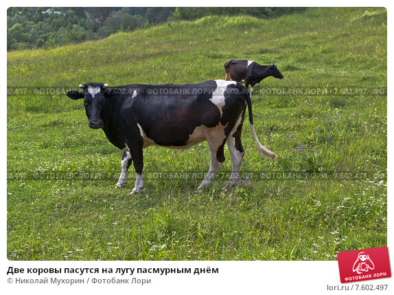 Купить «Две коровы пасутся на лугу пасмурным днём», фото № 7602497, снято 23 июня 2015 г. (c) Николай Мухорин / Фотобанк Лори