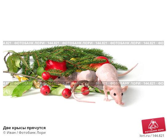 Две крысы прячутся, фото № 144821, снято 23 сентября 2007 г. (c) Иван / Фотобанк Лори