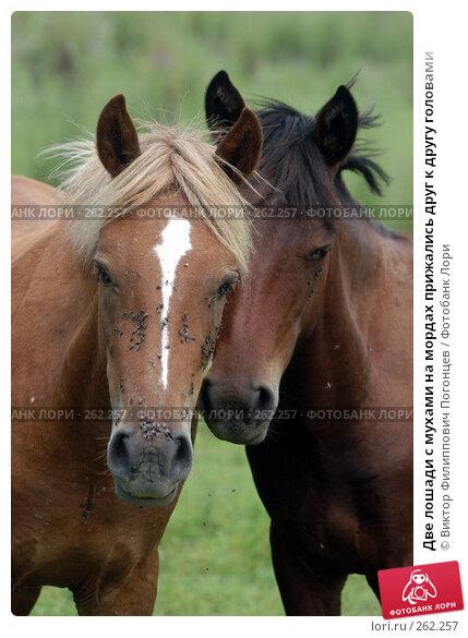 Две лошади с мухами на мордах прижались друг к другу головами, фото № 262257, снято 18 августа 2004 г. (c) Виктор Филиппович Погонцев / Фотобанк Лори
