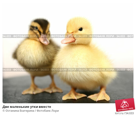Две маленькие утки вместе, фото № 54033, снято 23 мая 2007 г. (c) Останина Екатерина / Фотобанк Лори