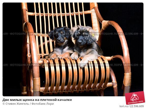 Купить «Две милых щенка на плетеной качалке», фото № 22596609, снято 13 февраля 2016 г. (c) Стивен Жингель / Фотобанк Лори