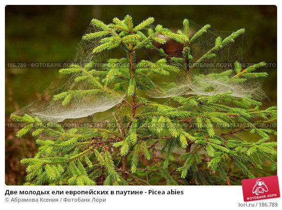 Две молодых ели европейских в паутине - Picea abies, фото № 186789, снято 26 августа 2006 г. (c) Абрамова Ксения / Фотобанк Лори