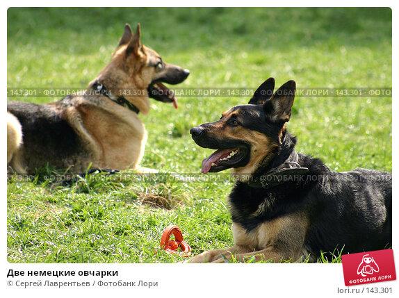 Купить «Две немецкие овчарки», фото № 143301, снято 8 мая 2004 г. (c) Сергей Лаврентьев / Фотобанк Лори
