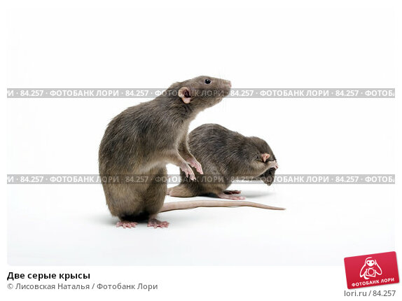Купить «Две серые крысы», фото № 84257, снято 15 сентября 2007 г. (c) Лисовская Наталья / Фотобанк Лори