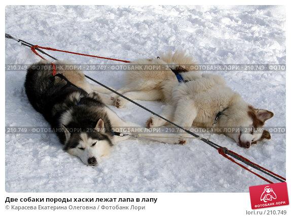 Две собаки породы хаски лежат лапа в лапу, фото № 210749, снято 3 февраля 2008 г. (c) Карасева Екатерина Олеговна / Фотобанк Лори