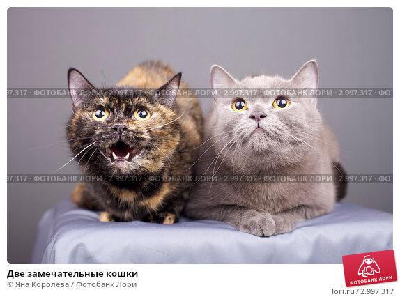 Купить «Две замечательные кошки», эксклюзивное фото № 2997317, снято 25 мая 2019 г. (c) Яна Королёва / Фотобанк Лори