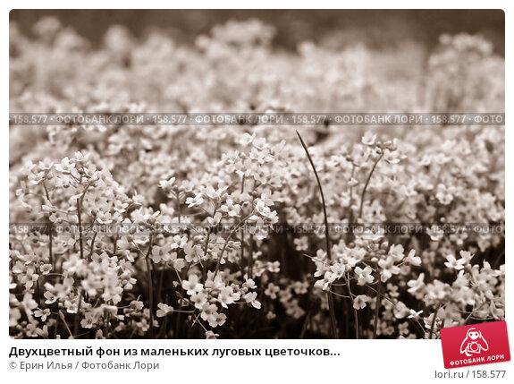 Двухцветный фон из маленьких луговых цветочков..., фото № 158577, снято 9 мая 2007 г. (c) Ерин Илья / Фотобанк Лори