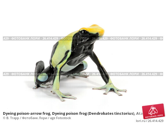 a study of the dyeing poison frog