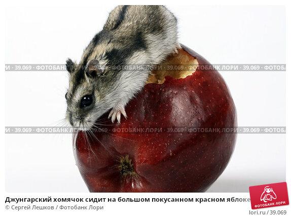 Джунгарский хомячок сидит на большом покусанном красном яблоке, фото № 39069, снято 18 марта 2007 г. (c) Сергей Лешков / Фотобанк Лори