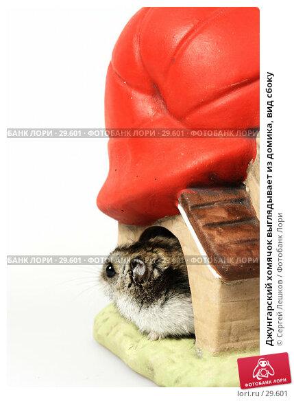 Джунгарский хомячок выглядывает из домика, вид сбоку, фото № 29601, снято 18 марта 2007 г. (c) Сергей Лешков / Фотобанк Лори