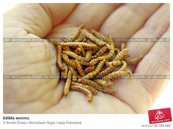 Купить «Edible worms.», фото № 28700585, снято 17 июня 2018 г. (c) easy Fotostock / Фотобанк Лори