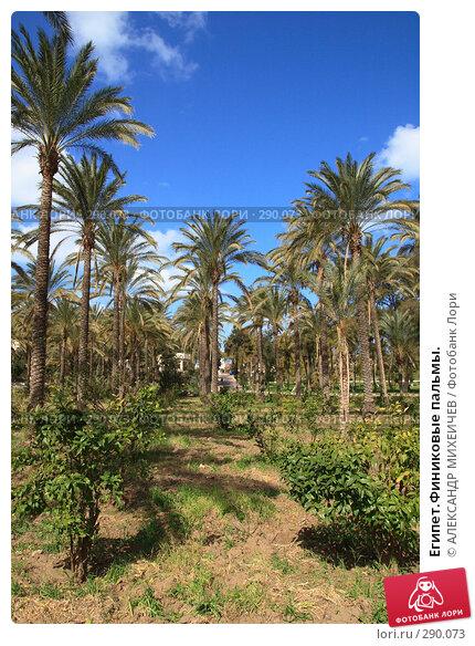 Египет.Финиковые пальмы., фото № 290073, снято 26 февраля 2008 г. (c) АЛЕКСАНДР МИХЕИЧЕВ / Фотобанк Лори