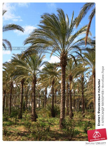 Египет.Финиковые пальмы, фото № 290077, снято 26 февраля 2008 г. (c) АЛЕКСАНДР МИХЕИЧЕВ / Фотобанк Лори