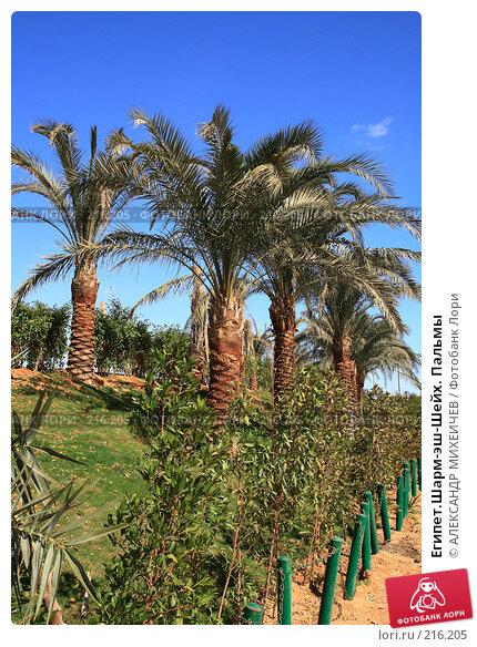 Египет.Шарм-эш-Шейх. Пальмы, фото № 216205, снято 19 февраля 2008 г. (c) АЛЕКСАНДР МИХЕИЧЕВ / Фотобанк Лори