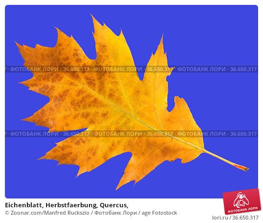 Eichenblatt, Herbstfaerbung, Quercus, Стоковое фото, фотограф Zoonar.com/Manfred Ruckszio / age Fotostock / Фотобанк Лори
