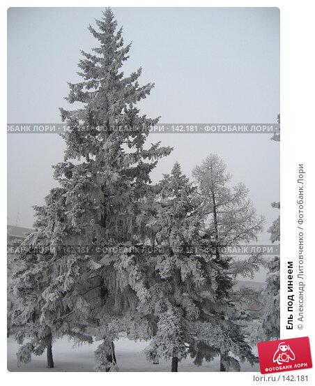 Ель под инеем, фото № 142181, снято 7 декабря 2007 г. (c) Александр Литовченко / Фотобанк Лори