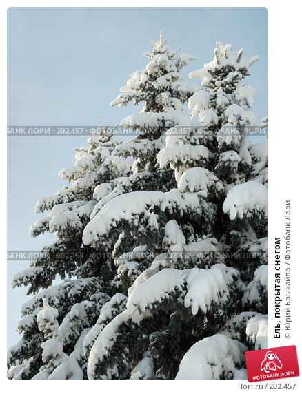 Ель, покрытая снегом, фото № 202457, снято 30 марта 2017 г. (c) Юрий Брыкайло / Фотобанк Лори