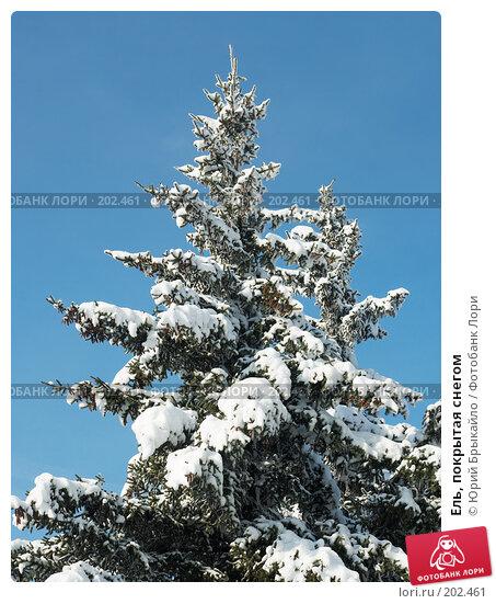 Ель, покрытая снегом, фото № 202461, снято 22 января 2017 г. (c) Юрий Брыкайло / Фотобанк Лори