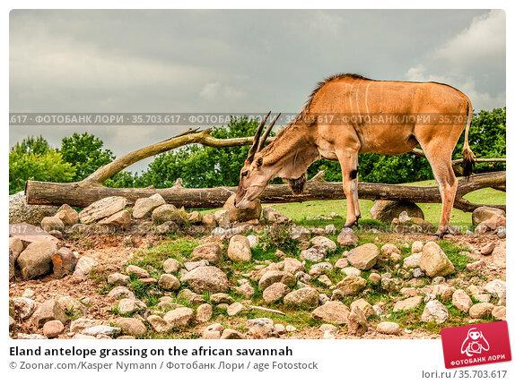 Eland antelope grassing on the african savannah. Стоковое фото, фотограф Zoonar.com/Kasper Nymann / age Fotostock / Фотобанк Лори