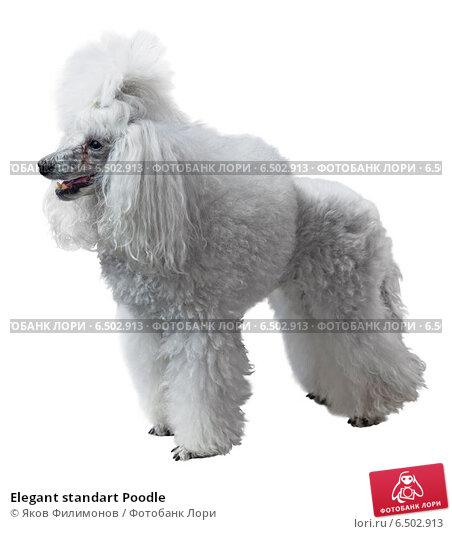 Купить «Elegant standart Poodle», фото № 6502913, снято 1 июня 2014 г. (c) Яков Филимонов / Фотобанк Лори