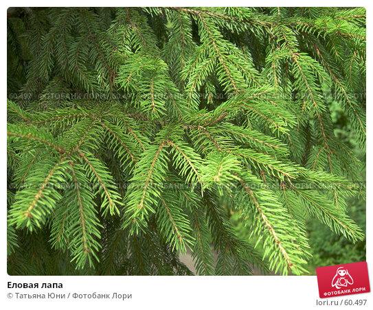 Еловая лапа, фото № 60497, снято 10 июля 2007 г. (c) Татьяна Юни / Фотобанк Лори