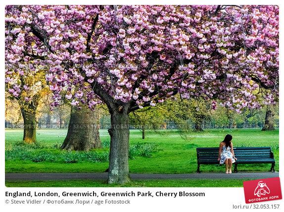 England, London, Greenwich, Greenwich Park, Cherry Blossom. Стоковое фото, фотограф Steve Vidler / age Fotostock / Фотобанк Лори