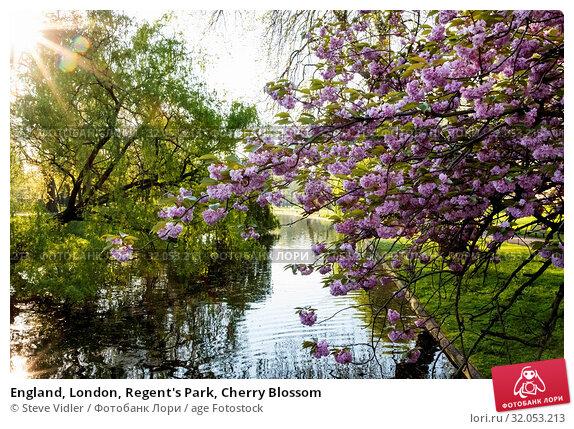 England, London, Regent's Park, Cherry Blossom. Стоковое фото, фотограф Steve Vidler / age Fotostock / Фотобанк Лори