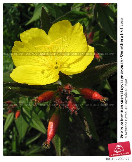 Энотера (ночная свеча) кустарниковая - Oenothera fruticosa, фото № 200177, снято 8 июля 2006 г. (c) Беляева Наталья / Фотобанк Лори
