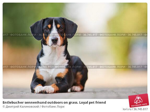 Entlebucher sennenhund outdoors on grass. Loyal pet friend. Стоковое фото, фотограф Дмитрий Калиновский / Фотобанк Лори