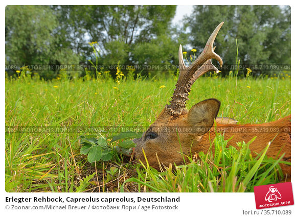 Erlegter Rehbock, Capreolus capreolus, Deutschland. Стоковое фото, фотограф Zoonar.com/Michael Breuer / age Fotostock / Фотобанк Лори