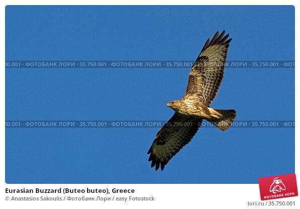 Eurasian Buzzard (Buteo buteo), Greece. Стоковое фото, фотограф Anastasios Sakoulis / easy Fotostock / Фотобанк Лори
