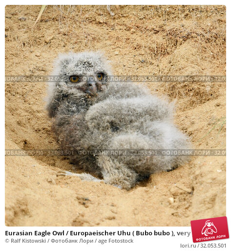 Eurasian Eagle Owl / Europaeischer Uhu ( Bubo bubo ), very young chick, fallen out of its nesting burrow in a sand pit, helpless, cute, wildlife, Europe. Стоковое фото, фотограф Ralf Kistowski / age Fotostock / Фотобанк Лори